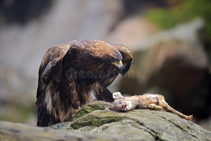 鹫,天鹰座chrysaetos,哺养在岩石的杀害鹿向山扔石头 免版税图库摄影