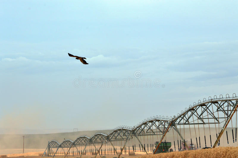 鹰和组合在麦子收获期间 图库摄影