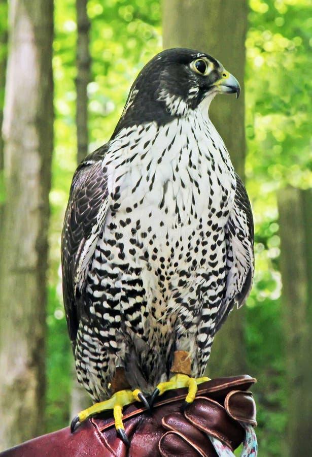 鹰在动物园里 免版税图库摄影