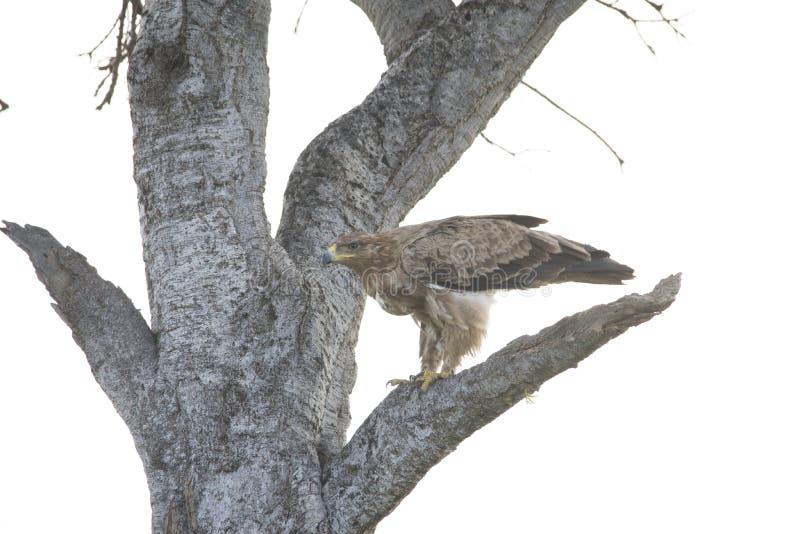 鹰在树分支剧烈地登陆了在非洲 图库摄影
