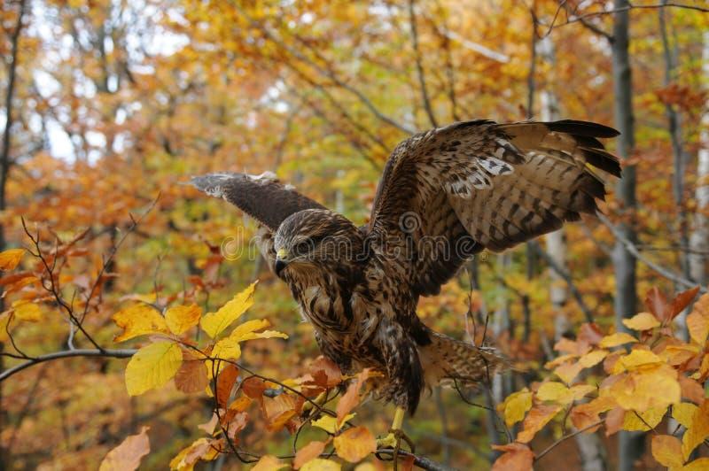 鹰在秋天森林里 免版税图库摄影
