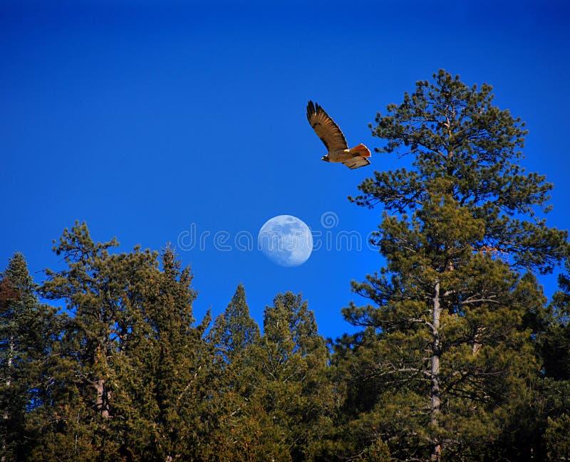 鹰月亮 免版税库存图片