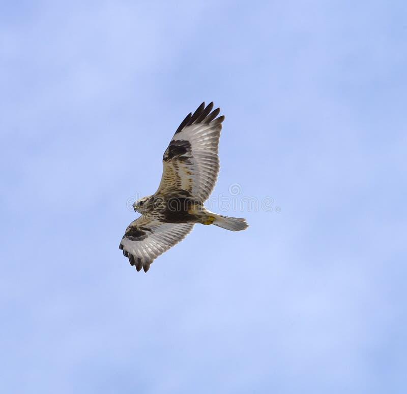 鹰有腿粗砺 免版税图库摄影