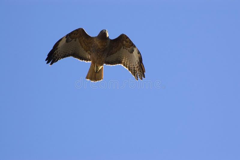 鹰红色尾标 库存图片