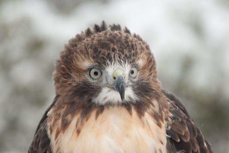 鹰红色雪尾标 免版税库存图片