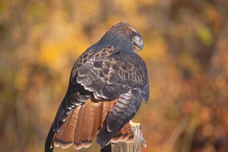 鹰纵向红色盯梢了 免版税图库摄影