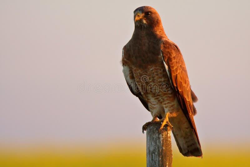 鹰被栖息的s swainson 库存照片