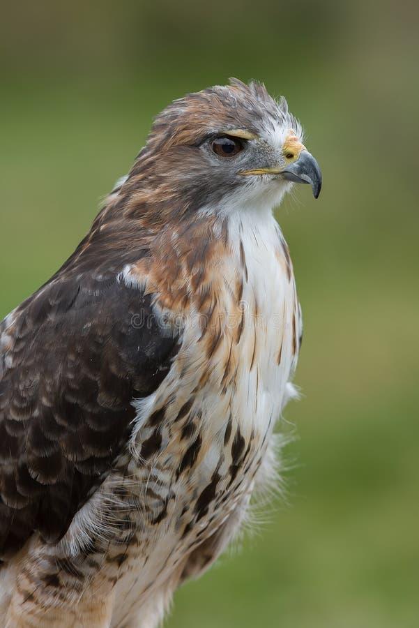 鹰被盯梢的纵向红色 库存照片