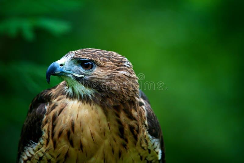 鹰被盯梢的配置文件红色 免版税库存照片