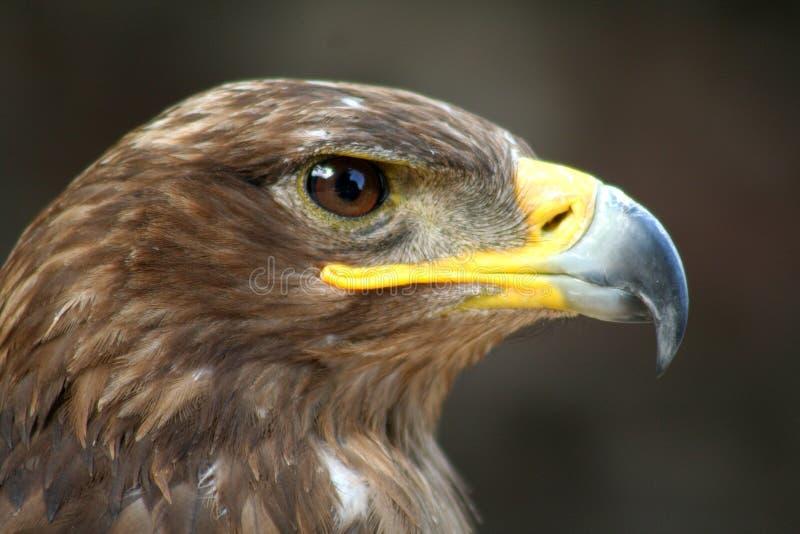 鹰 免版税图库摄影