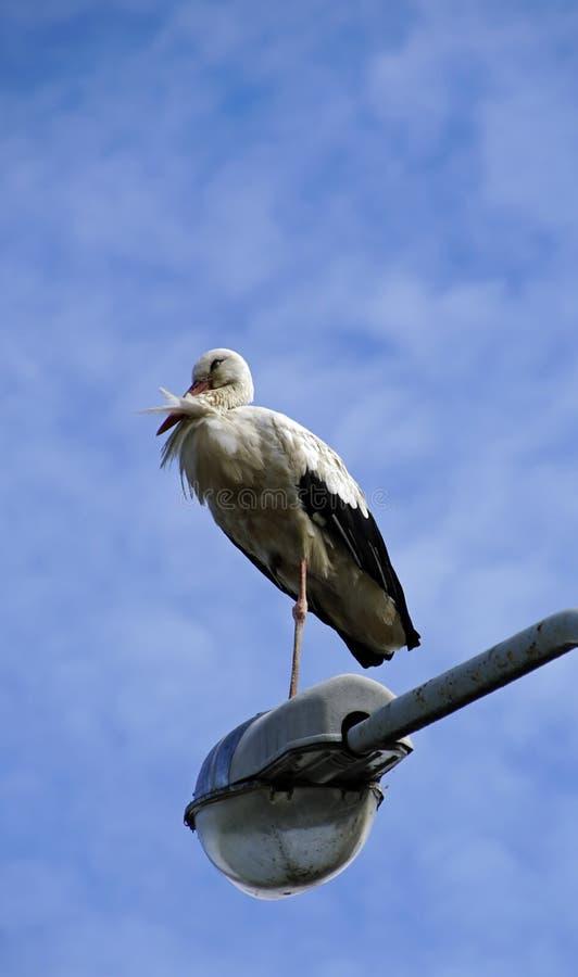 鹳在城市 鸟坐照明设备帆柱 免版税库存照片