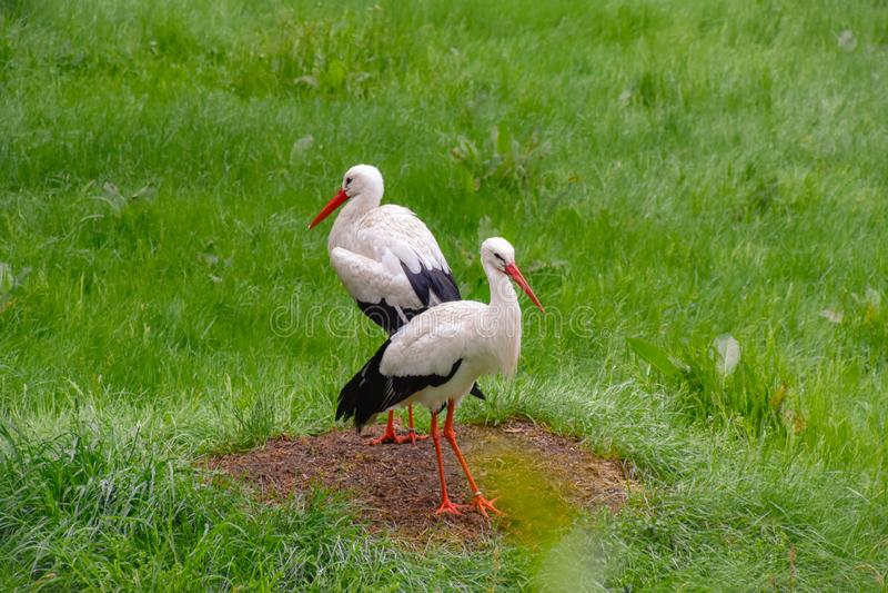鹳在草甸和在巢 免版税图库摄影