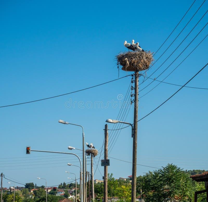 鹳在路灯柱和电子支持的viet巢和养殖他们的在巢,希腊的刚孵出的雏 库存照片