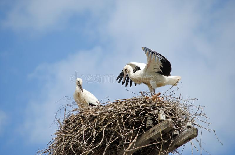 鹳家庭在巢的 免版税库存照片