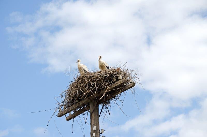 鹳家庭在巢的 免版税库存图片