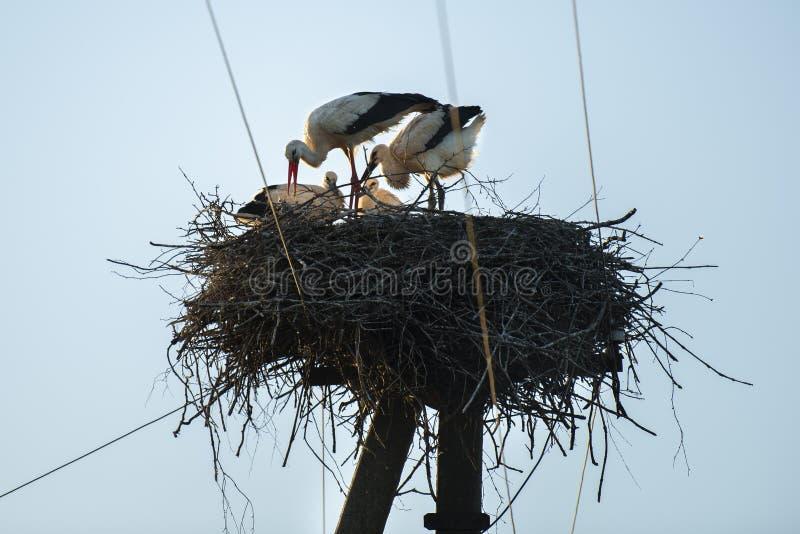 鹳家庭在巢的 免版税图库摄影