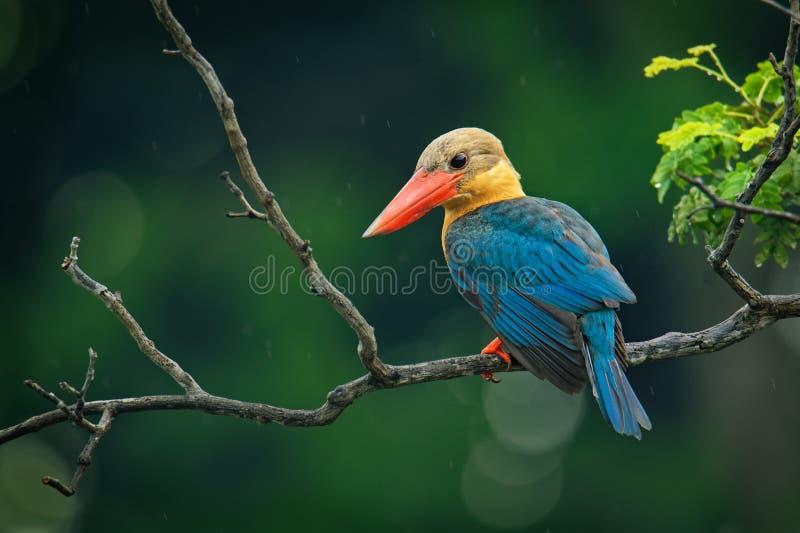 鹳开帐单的翠鸟Pelargopsis海角-东南树的翠鸟分布在热带印度次大陆和 图库摄影