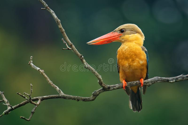 鹳开帐单的翠鸟Pelargopsis海角-东南树的翠鸟分布在热带印度次大陆和 库存照片