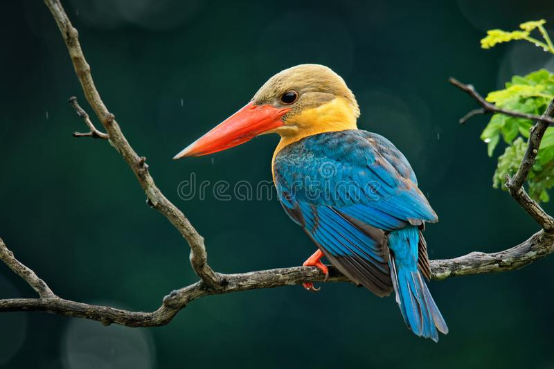 鹳开帐单的翠鸟Pelargopsis海角-东南树的翠鸟分布在热带印度次大陆和 库存图片