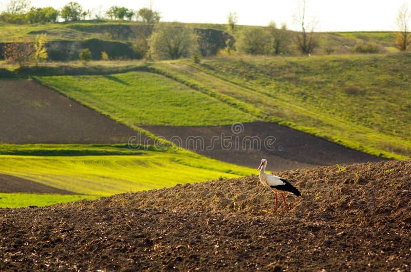 鹳走的被犁的领域在春天 免版税库存图片
