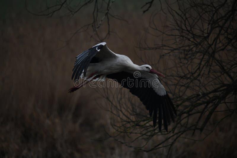 鹳降低,鹳飞行到他的巢 免版税库存照片