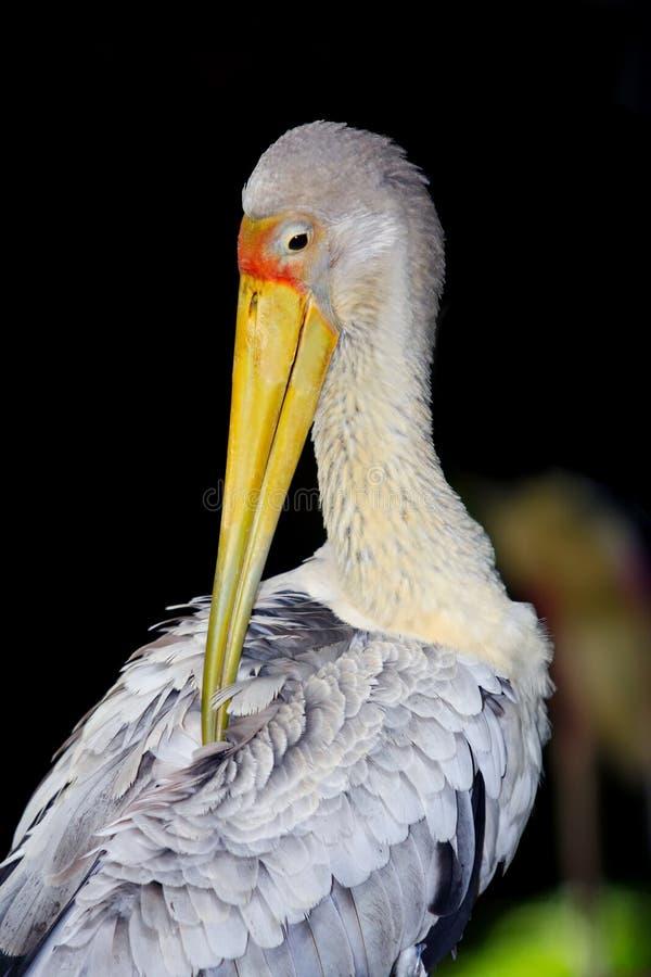 鹳鸟种类 免版税库存图片