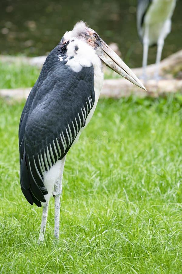 鹳storck,净化剂鸟,住在南非 图库摄影
