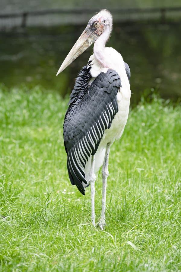 鹳storck,净化剂鸟,住在南非 免版税库存图片