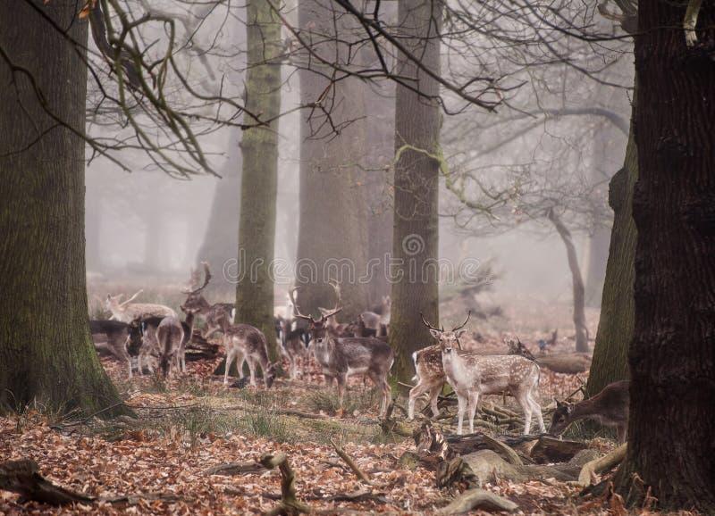 鹿休耕有雾的森林横向冬天 免版税库存图片