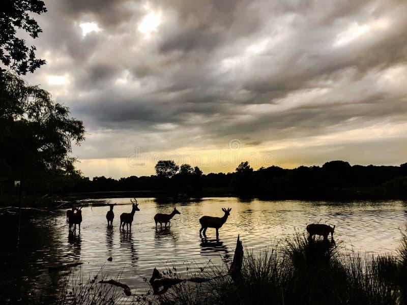 鹿到达一个湖的银行的横穿水在一个8月晚上 免版税库存图片