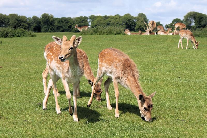鹿动物 库存图片