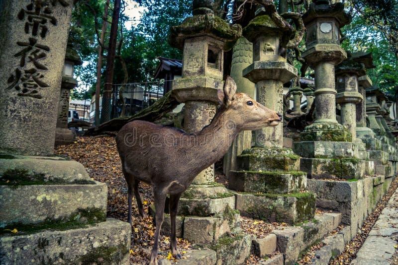 鹿和灯笼在奈良 免版税库存照片