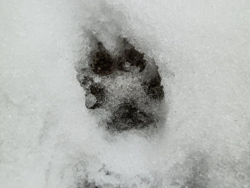鹿和狼脚印在雪森林里 库存照片