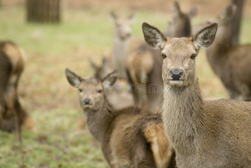 鹿和雄鹿在分蘖性公园 免版税库存照片