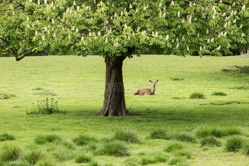 鹿在公园 库存图片