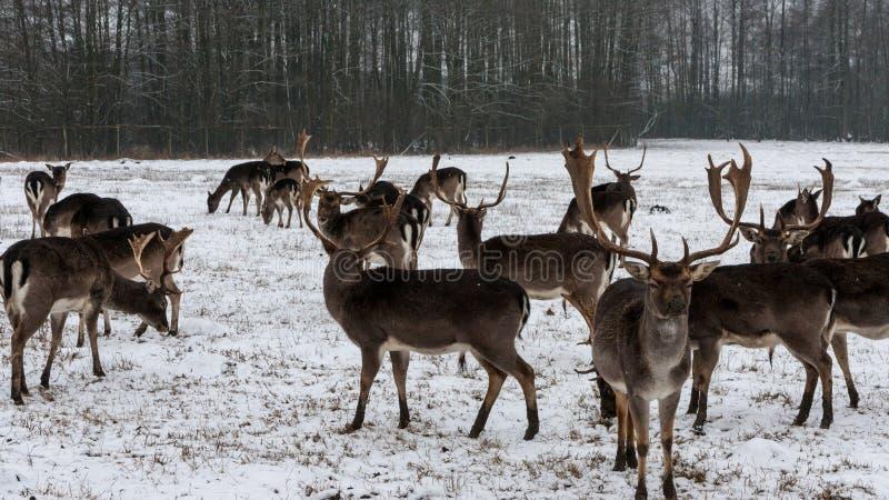 鹿在冬天在波兰 免版税库存图片
