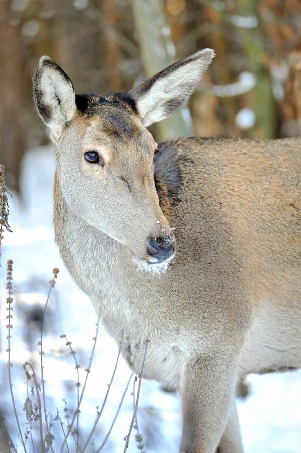 鹿在冬天森林里 免版税图库摄影