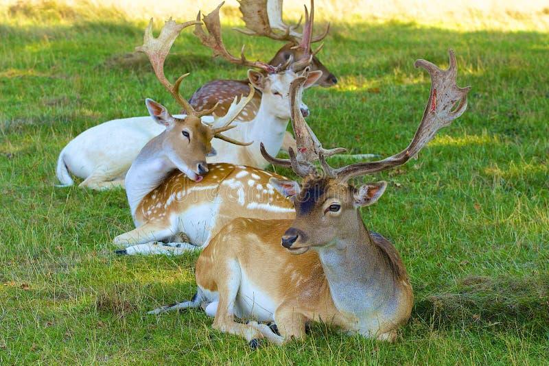 鹿在分蘖性公园,英国 免版税库存图片