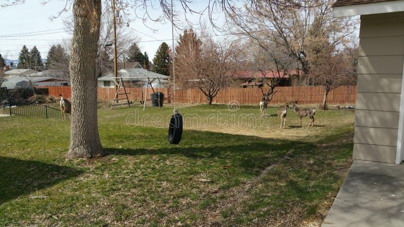 鹿在后院 库存图片