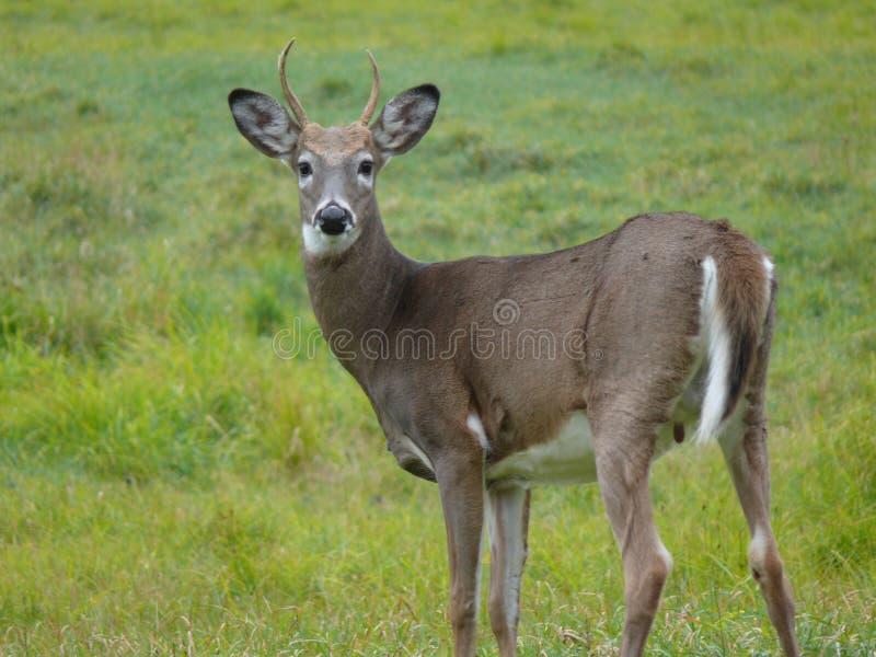 鹿在安大略的加拿大森林里 免版税库存照片