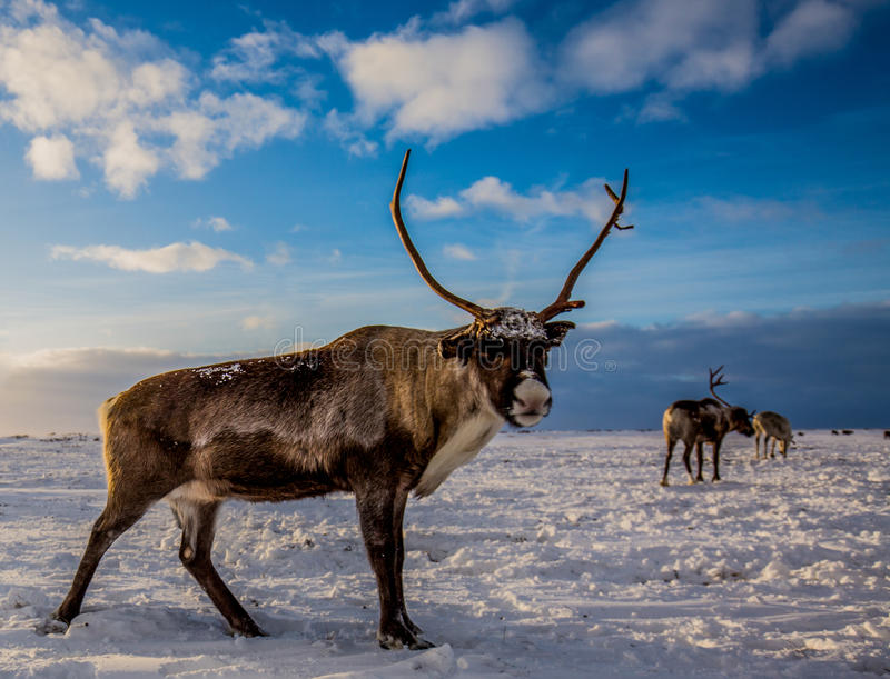 鹿在寒带草原,在一晴朗的冷淡的天 免版税库存图片