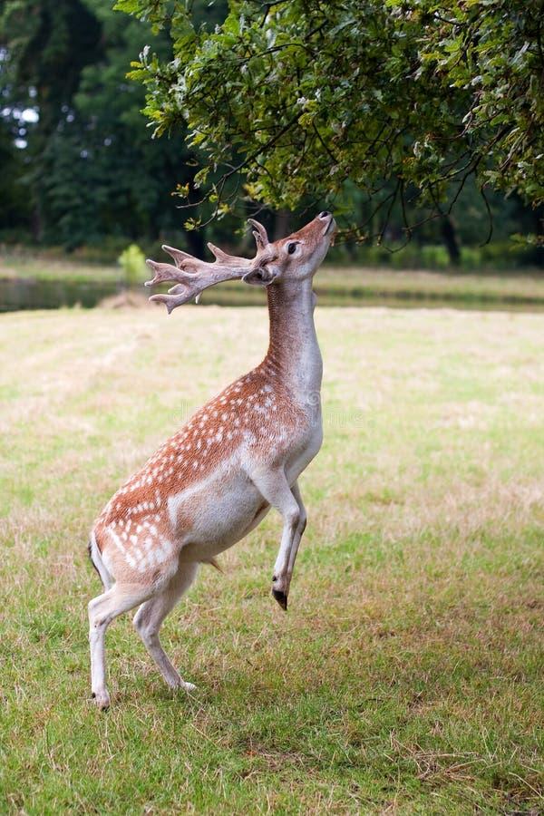鹿在德哈尔城堡附近嚼在清洁的叶子在荷兰 库存照片