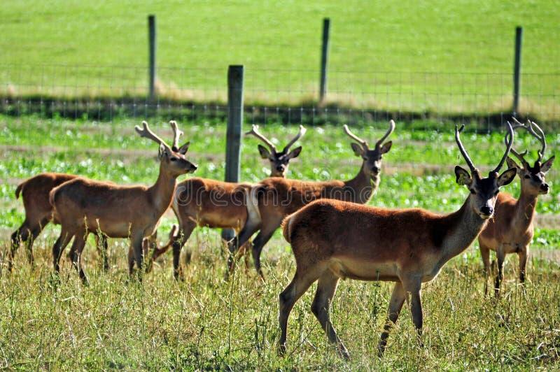 鹿在新西兰种田 免版税库存照片