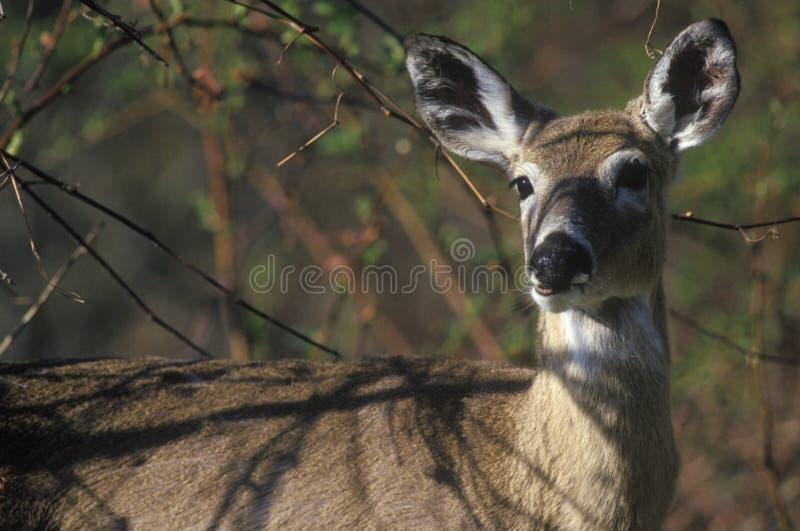 鹿在春天,地平线驱动, Shenandoah国家公园, VA 免版税图库摄影