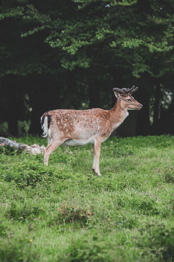 鹿在森林里 免版税图库摄影