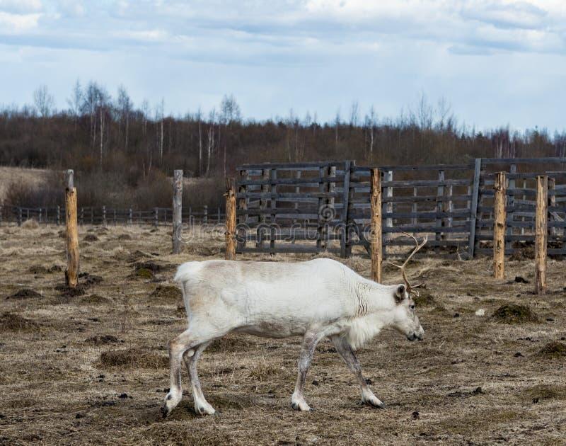 鹿在牧场地,吃地衣 库存照片