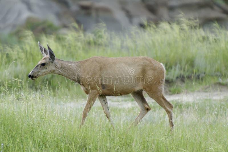 鹿在省立恐龙公园,亚伯大 库存照片