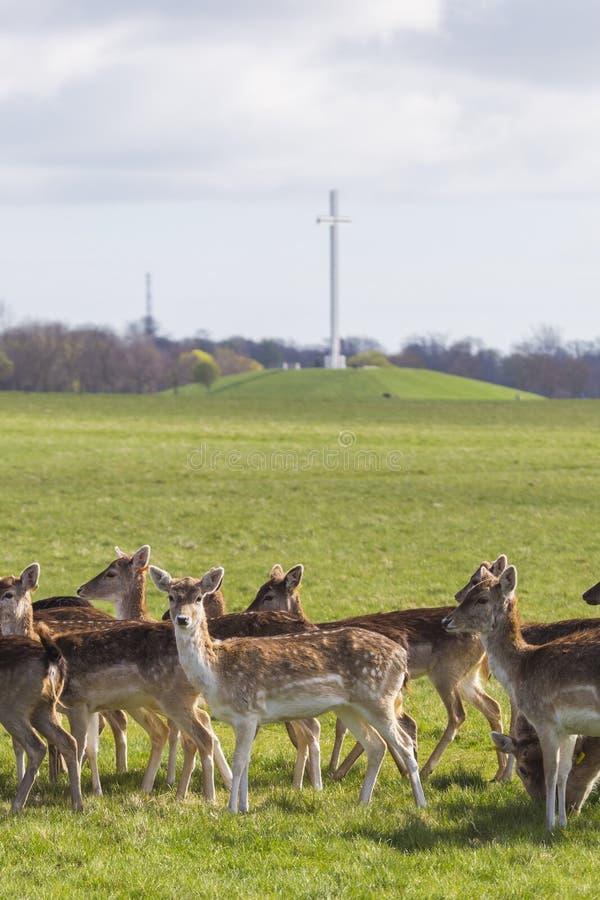 鹿在菲尼斯公园-都伯林 免版税图库摄影