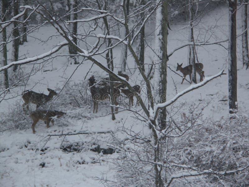 鹿在雪吃草 库存图片