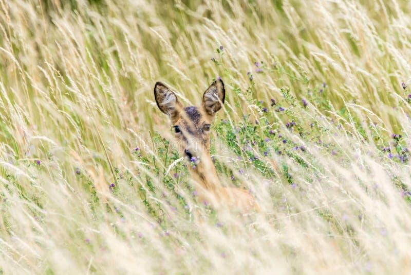 鹿在高草掩藏 免版税库存图片